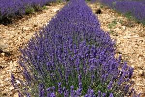 brilliant lavendar