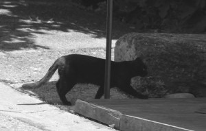 le petit chat noir