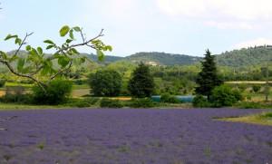 lavendar Lourmarin