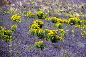 lavendar & goldenrod