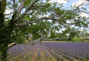 lourmarin lavendar
